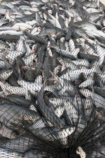 Interinclusion article archive the power of networks for Sjfc fish r net